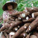 Memaksimalkan Kualitas dan Kuantitas Hasil Panen Ketela Pohon (Manihot Esculenta Crantz ) Dengan Menggunakan Pupuk Organik DIGROW